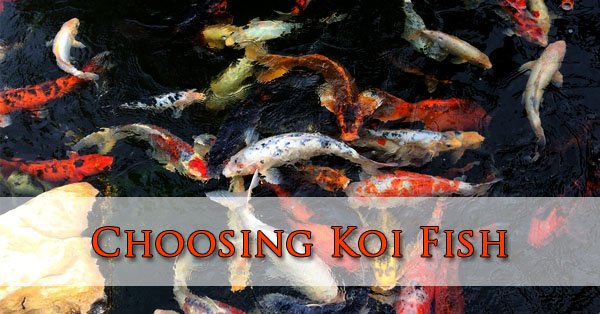 Choosing Koi Fish Phoenix, Arizona