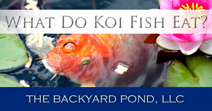 what do koi fish eat the backyard pond
