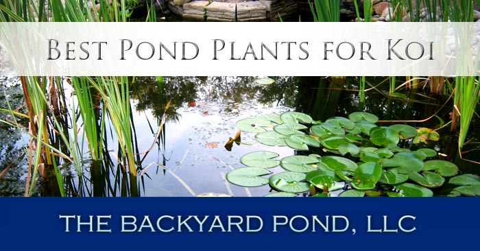 Best Pond Plants For Koi The Backyard Pond Phoenix Valley