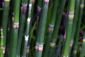Horsetail in a Koi Pond