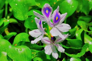 Water Hyacinth in a Koi Pond