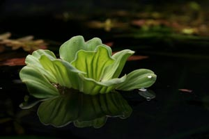 Water Lettuce in a Koi Pond